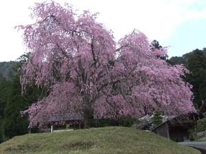 常照皇寺 山門前の桜 DSCF0095.JPG